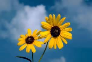 File sunflower flower against blue sky background jpg wikimedia