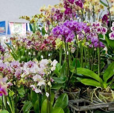 Bibit Anggrek Makassar jual benih bibit tanaman bunga anggrek terbaru langka