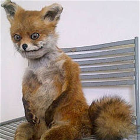 Taxidermy Fox Meme - stoned fox meme
