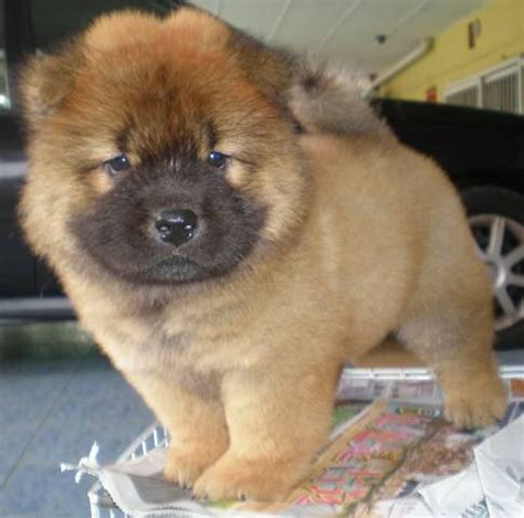 chow chow puppies for adoption chow chow puppies for sale adoption from kuala lumpur adpost classifieds