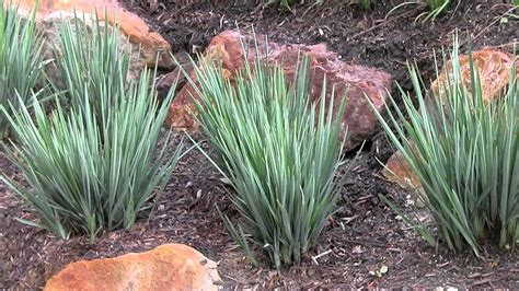 little rev is a dianella with compact blue grey foliage strappy leaf plants youtube