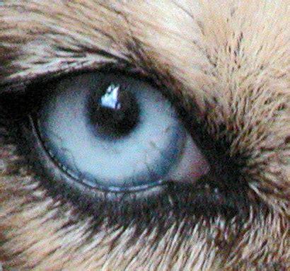 dogs eye is file glenda blue eye jpg