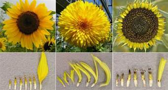 Different Kind Of Flowers - genetic clue to van gogh s mutant sunflowers discovered