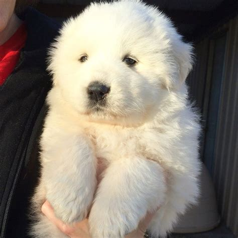 great pyrenees colors great pyrenees puppy colors textures of