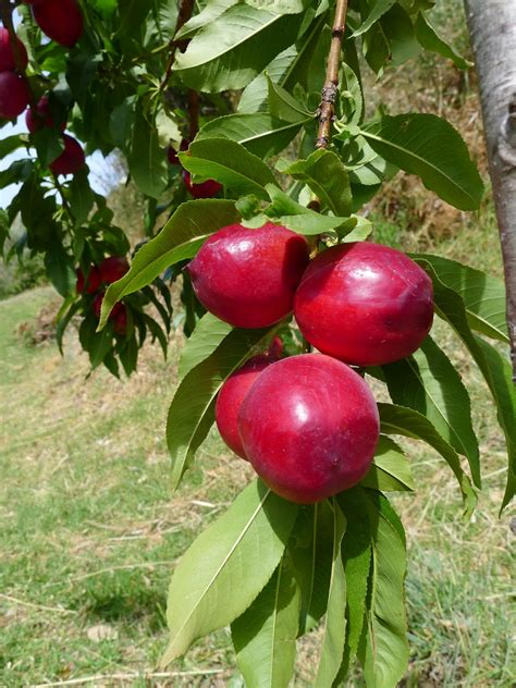 07 fruit tree my kitchen in spain a windfall summer s