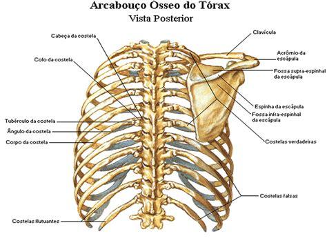 gabbia toracica anatomia shiatsu anatomia