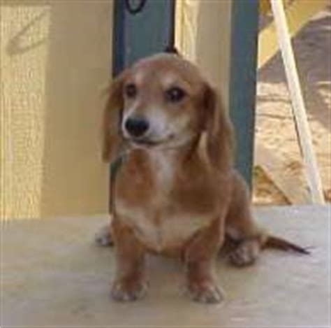 dachshund puppies northern california haired dachshund northern california dogs in our photo