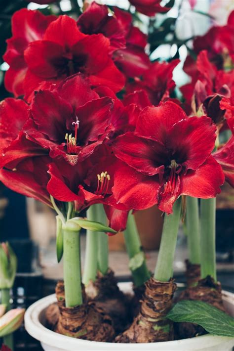 how to grow an amaryllis indoors for stunning winter blooms garden therapy
