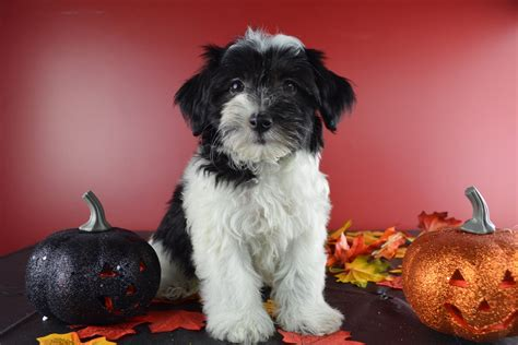 how big do havanese get royal flush havanese puppies for sale