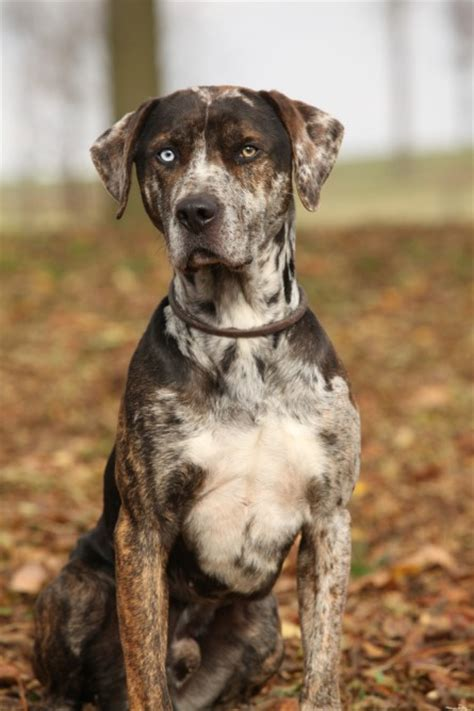 catahoula leopard dog history personality appearance health  pictures
