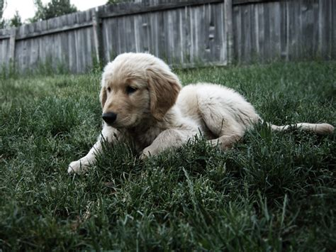 golden retriever growth calculator big golden retriever pup