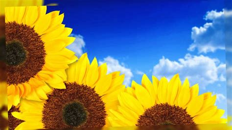 imagenes hermosas girasoles flores de girasol fotos bonitas youtube