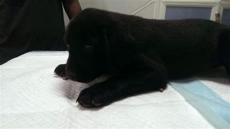 puppies for cheap black labrador puppies for sale cheap price for 150 by elmazad