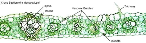 monocot leaf cross section labeled عاشقانه