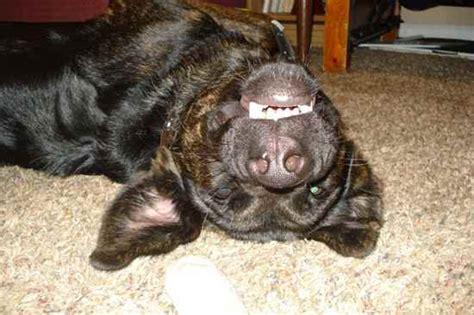 labrashepherd puppies for sale german sheprador personality breeds picture
