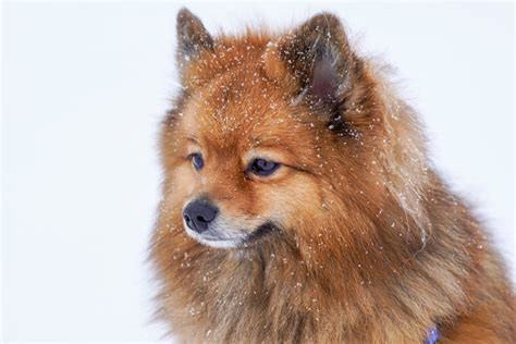 what were pomeranians bred for what were pomeranians bred for crispypompuppies