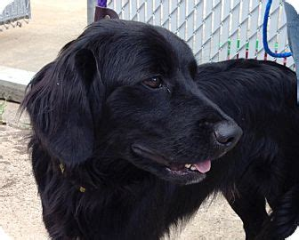 coat golden retriever handsome adopted westport ct flat coated retriever golden retriever mix