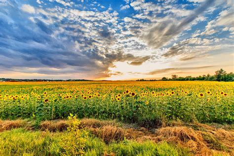 Sunflower Field clipart sunflower field hungary