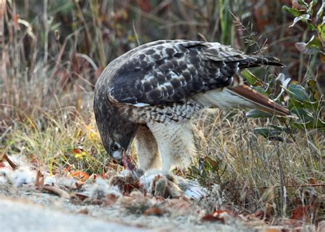 red tailed hawk buteo jamaicensis feeding on a rabbit
