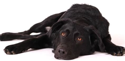 best dog bed for labs best dog beds for labs pick a bed your lab will love