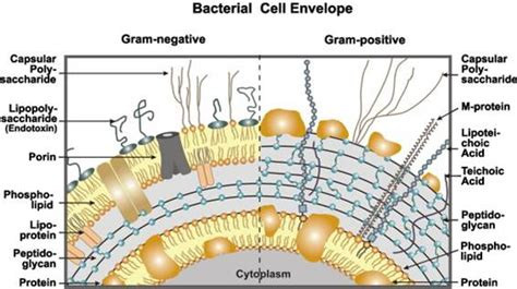 bacterial cell wall  university  waterloo