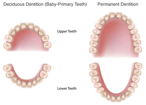 baby teeth dentition permanent dentition dentition secondary