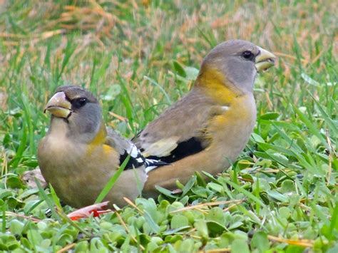 gale s photo blog evening grosbeak irruption