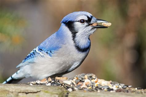 tips for how to attract jays