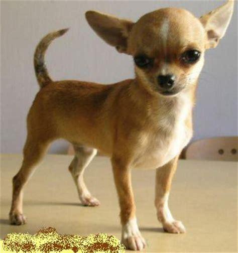 alimentazione chiwawa chihuahua pelo corto razza carattere cuccioli foto