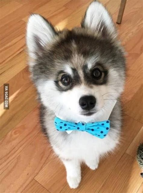 pomeranian husky hybrid this is norman the pomsky he s a hybrid of husky and pomeranian he will stay this