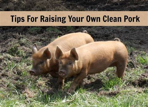 how to raise pigs in your backyard 172 best hogs images on pinterest