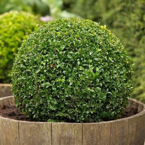 bosso in vaso bosso buxus sempervirens alberi bosso coltivare bosso