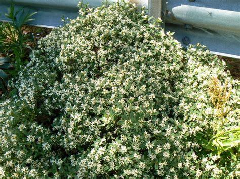 cespuglio con fiori bianchi cespuglio con fiorellini bianchi oleoides forum