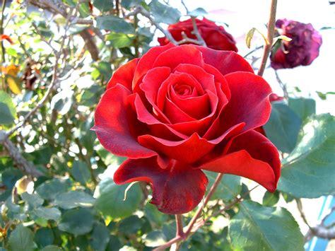 un jardin de rosas rojas vida en la tierra las rosas rojas