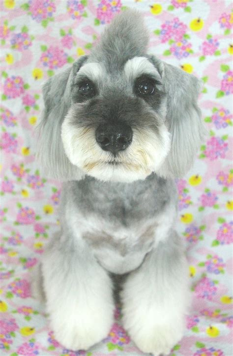 asian style schaunzer hair trim types of schnauzer haircuts pictures to pin on pinterest