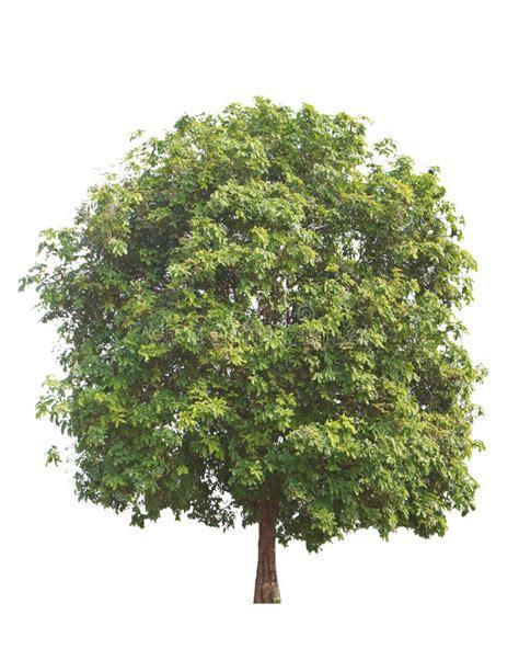 Baum Mit Roten Bl Ttern 136 by Baum Schleichera Oleosa Kusum Mit Neuen Roten Bl 228 Ttern