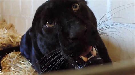 fotos de tremendas pijas negras pantera negra atacando youtube