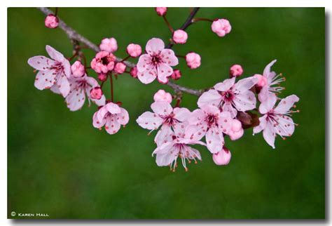 pink blossom on a grey day the turning year