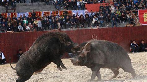 imagenes de animales impactantes peleas de animales en china impactantes im 225 genes de