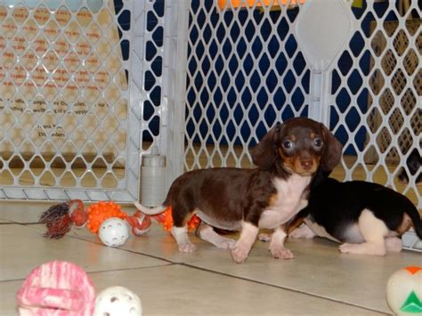 puppies atlanta dachshund puppies atlanta dogs in our photo