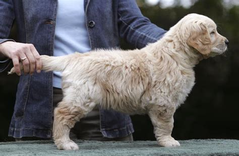 fernfall golden retrievers fernfall golden retrievers est 1980