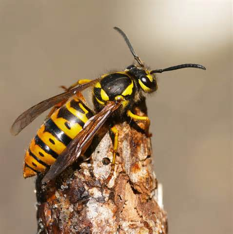 Yellow Jacket What You Need To About Yellow Jackets Now Digging