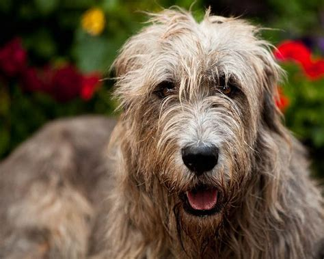 Wolfhound Shedding by Pictures Of Wolfhound 9 Breeds Picture