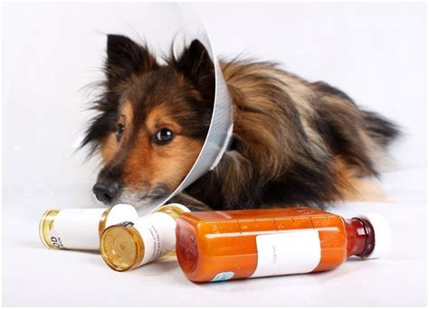 loratadine dosage for dogs benadryl for dogs dose my pet
