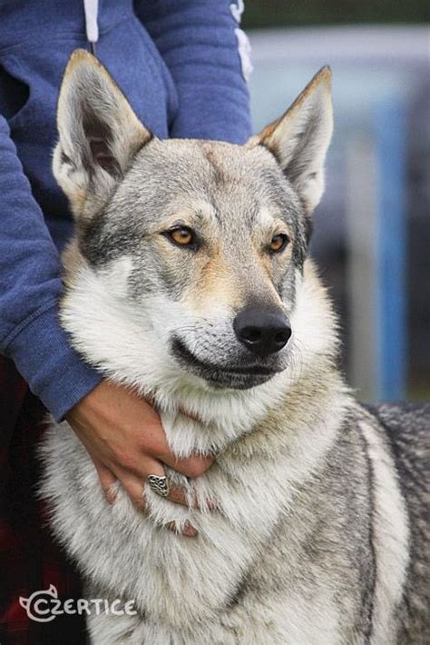 wolf breed dogs best 25 czechoslovakian wolfdog ideas on wolfdog hybrid wolf breeds