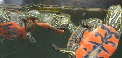 mata mata tattoo prices 78 images about types of turtles on pinterest plymouth