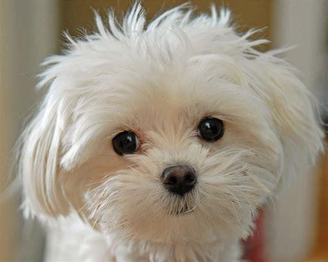 maltese poodle lifespan maltese poodle puppy