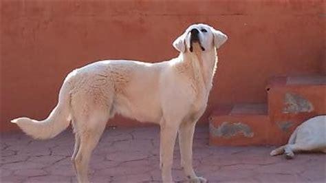 labrador con golden retriever cruza color de labradores labrador retriever perros