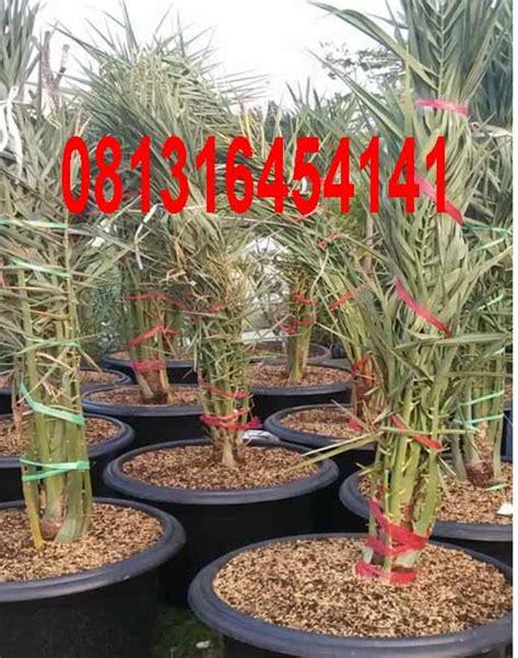 Bibit Buah Kurma Hybrid Import Thailand Kl 1 1 Jantan Dan 2 Betina quot jual offshoot kurma kl 1 kurma tropis