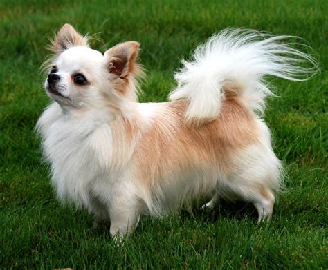 long hair chihuahua haircut long hair chihuahua haircut popular long hairstyle idea